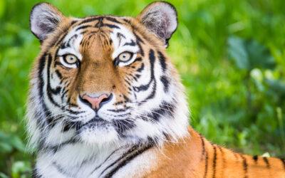 Nyt tiger-plejehjem i Knuthenborg Safaripark
